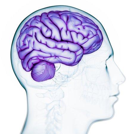 cerebrum: Male brain,computer artwork
