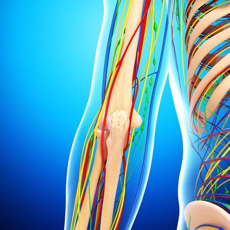 Elbow anatomy,artwork