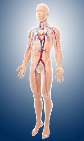 cava: Male cardiovascular system,artwork