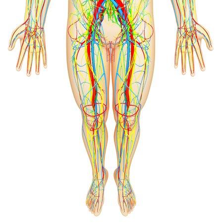 Lower body anatomy,artwork