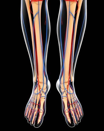 Lower Leg Anatomy,artwork Stock Photo, Picture And Royalty Free ...