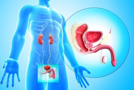 seminal vesicle: Male reproductive system,artwork
