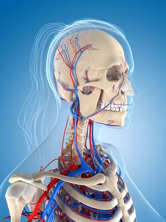Female vascular system,computer artwork LANG_EVOIMAGES