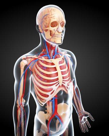 thorax: Male anatomy,artwork