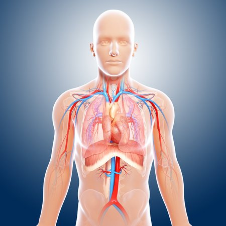 cava: Upper body anatomy,artwork LANG_EVOIMAGES