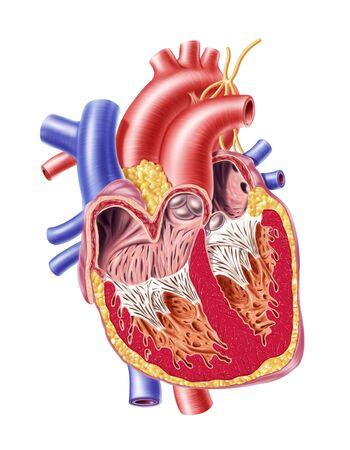 cava: Human heart,cut-away computer artwork