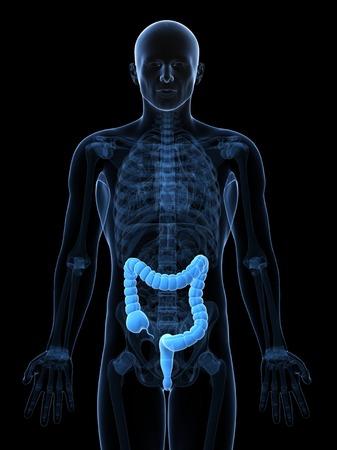 intestino grueso: Healthy large intestine,computer artwork