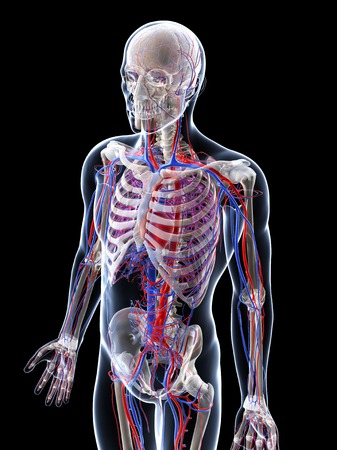 Male vascular system,computer artwork LANG_EVOIMAGES