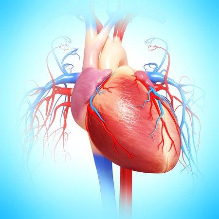 cava: Human heart,artwork