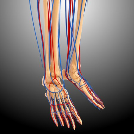 Lower leg anatomy,artwork
