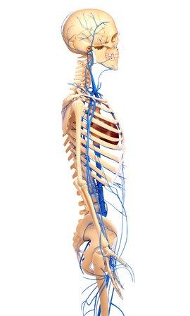 pelvis: Human veins,artwork