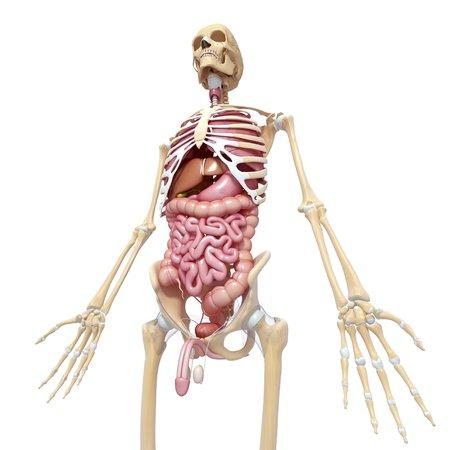 testes: Male anatomy,artwork
