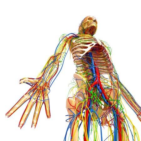 pelvis: Human anatomy,artwork LANG_EVOIMAGES