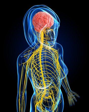 cerebrum: Female nervous system,artwork