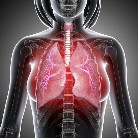 Female lungs,artwork