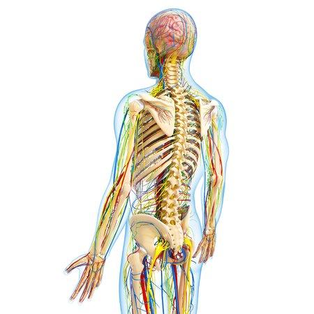 cerebrum: Human anatomy,artwork LANG_EVOIMAGES