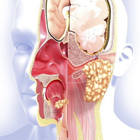 nasal: Head anatomy,artwork