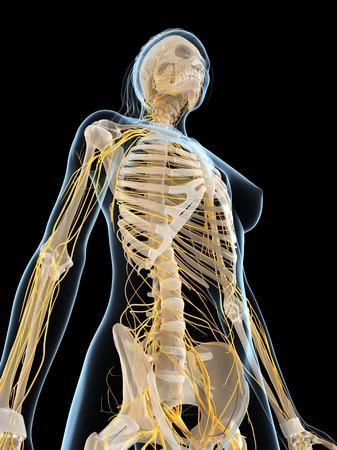 sistema nervioso central: Female nervous system,computer artwork