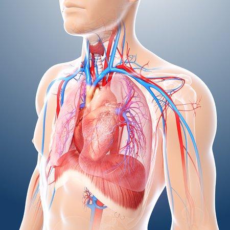 thorax: Chest anatomy,artwork