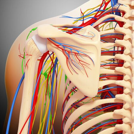 Shoulder anatomy,artwork