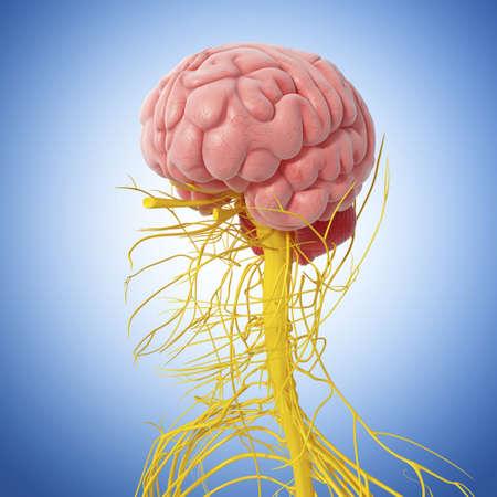 cerebrum: Human nervous system,artwork