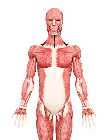 Male musculature,computer artwork