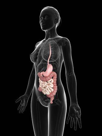 Female digestive system,computer artwork