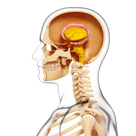 Male brain,computer artwork