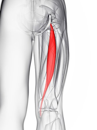 Thigh Muscle. Computer Artwork Showing The Semitendinosus Muscle ...
