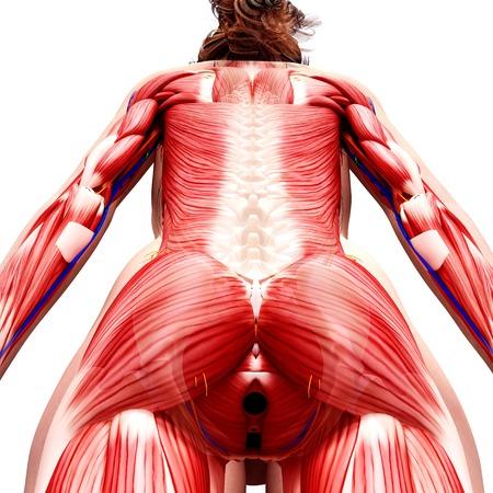 sphincter: Female musculature,computer artwork