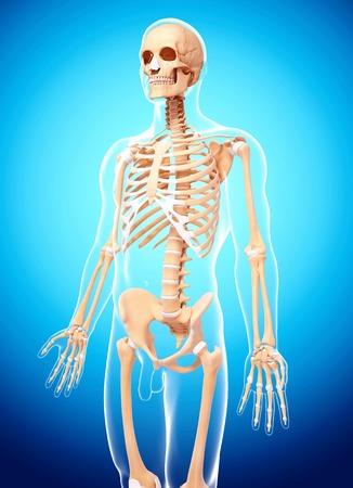 pelvis: Human skeleton,computer artwork