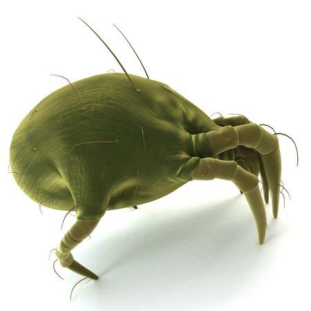 Dust mite. Computer artwork of a house dust mite (Dermatophagoides pteronyssinus)
