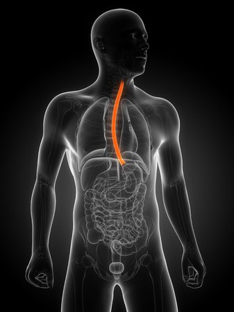 oesophagus: Healthy oesophagus,computer artwork LANG_EVOIMAGES