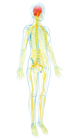 Female nervous system,computer artwork