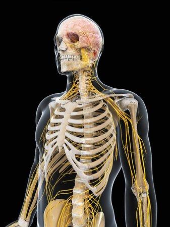 cerebrum: Male nervous system,computer artwork