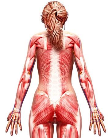 musculature: Female musculature,computer artwork