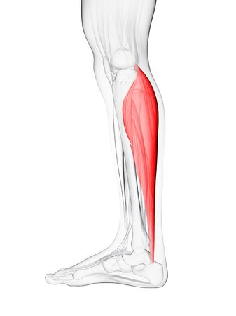 gastrocnemius: Calf muscle. Computer artwork showing the gastrocnemius muscle