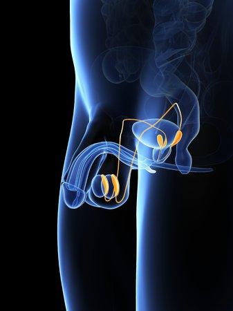 vas deferens: Penis anatomy,computer artwork LANG_EVOIMAGES
