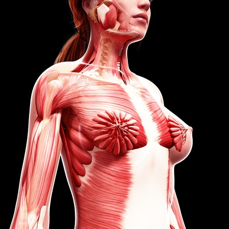 mammary: Female musculature,computer artwork
