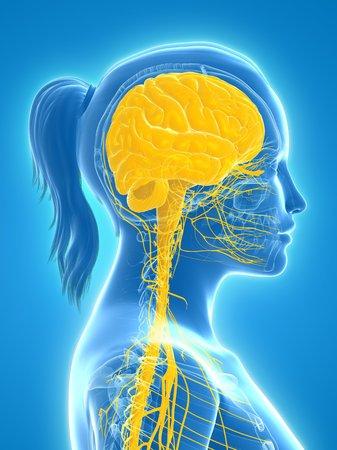 cerebrum: Central nervous system,computer artwork