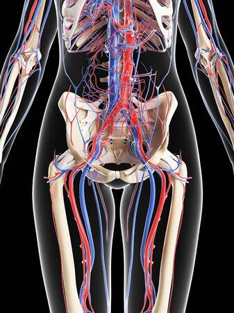 pelvis: Female vascular system,computer artwork LANG_EVOIMAGES