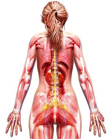 lug: Female anatomy,computer artwork LANG_EVOIMAGES