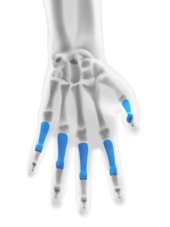 proximal: Hand bones. Computer artwork showing the proximal phalange bones