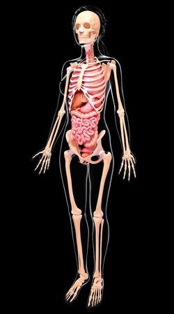 Human digestive system,computer artwork