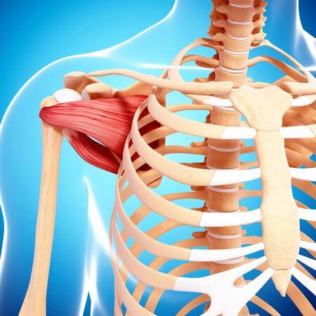 musculature: Human musculature,computer artwork
