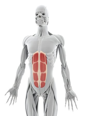 Abdominal Muscles. Computer Artwork Showing The Rectus Abdominis ...