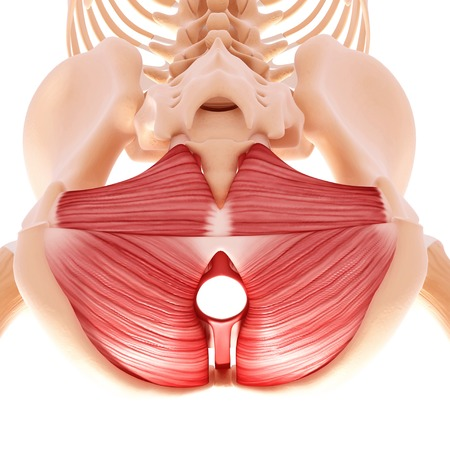 sphincter: Human hip musculature,computer artwork LANG_EVOIMAGES
