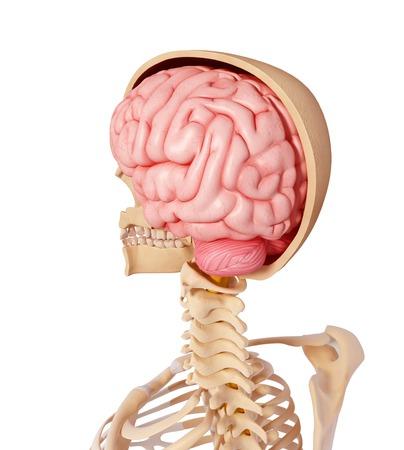 cerebrum: Human anatomy,computer artwork LANG_EVOIMAGES