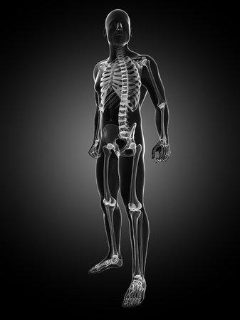 Male skeleton,computer artwork LANG_EVOIMAGES