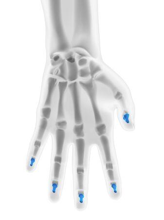 distal: Hand bones. Computer artwork showing the distal phalange bones LANG_EVOIMAGES